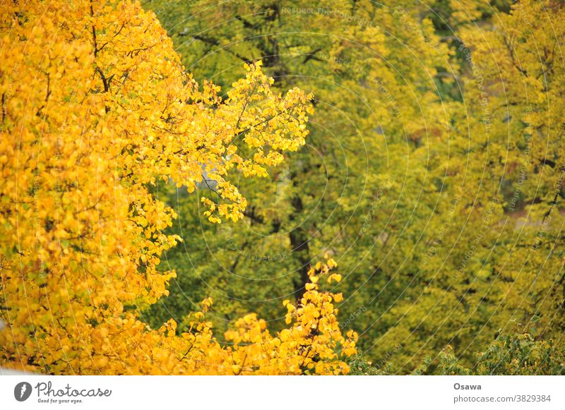 Herbstlaub Laub Bäume gelb orange grün Äste Zweige Baumkrone Pflanze Zweige u. Äste Natur Außenaufnahme Menschenleer Blatt Farbfoto Tag geringe Tiefenschärfe