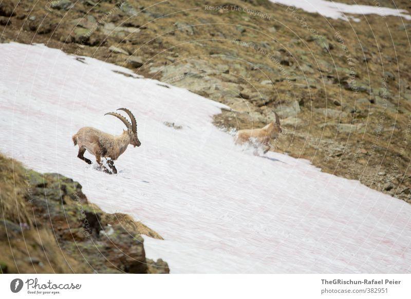 A Capricorns Playground Tier Wildtier Steinbock 2 Rudel braun gelb gold grau schwarz weiß Schneefeld Horn Bergen Berge u. Gebirge rennen Platzangst erschrecken
