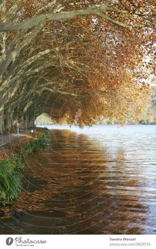 Platanen am See Herbst autumn Baldeneysee Essen Laub Herbstlaub Bäume goldener Herbst Tunnel Tunnelblick Romantik Herbststimmung Gemütlichkeit goldbraun Natur