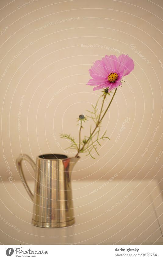 Einzelne Kosmeen Blume in Blüte in einer Vase in Form eines Metall Kruges Kanne Cosmos Blume pink farbige farbene grün Natur Pflanze Innenaufnahme Nahaufnahme