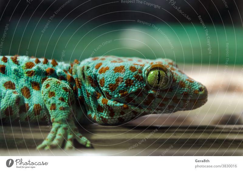 Eidechsengecko an einer Bambuswand hängend Tier Hintergrund Klima schließen genauer Blick abschließen Nahaufnahme Farbe farbenfroh Umwelt exotisch