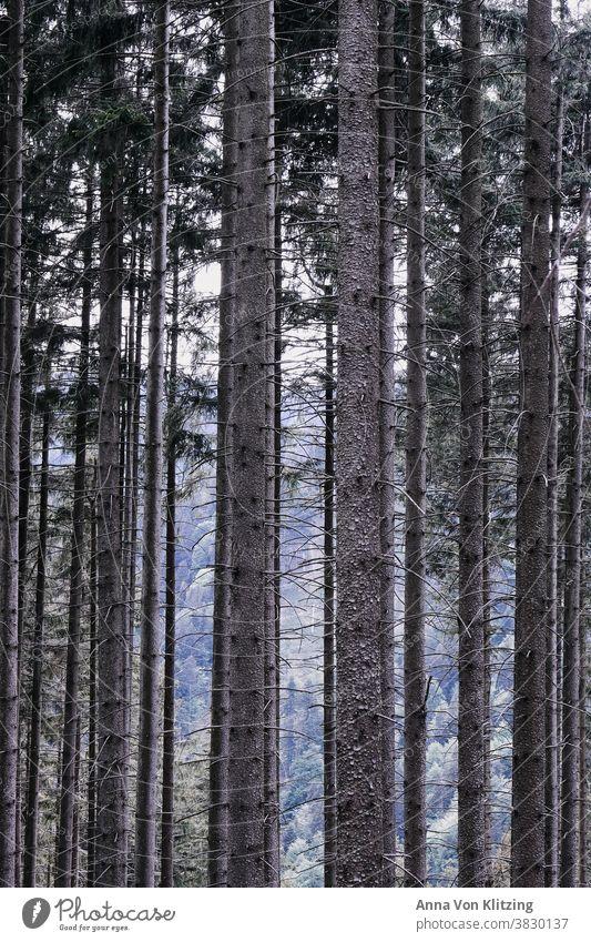 Wald Bäume Baumstamm baumstämme Holz Natur Umwelt Außenaufnahme Menschenleer Forstwirtschaft Farbfoto Nadelwald Nadelbaum braun Klimawandel Umweltschutz