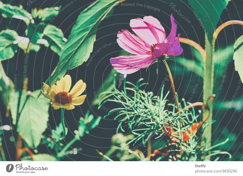 aus dem Herbstgarten im Oktober Cosmea Ringelblume Herbstblume Cosmea bipinnata Cosmos bipinnatus Herbstblüte anders Schmuckkörbchen blühende Blumen Blumenbeet