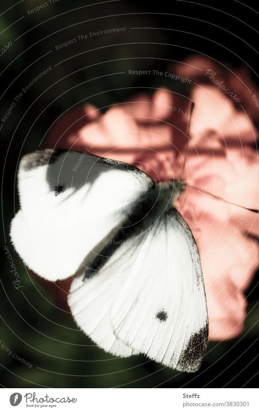 Schmetterling auf einer Herbstblume Falter kleiner Kohlweißling Weißling Tagfalter lichtvoll nah ruhig Ruhe Lichtstimmung Tagetes Romantik achtsam