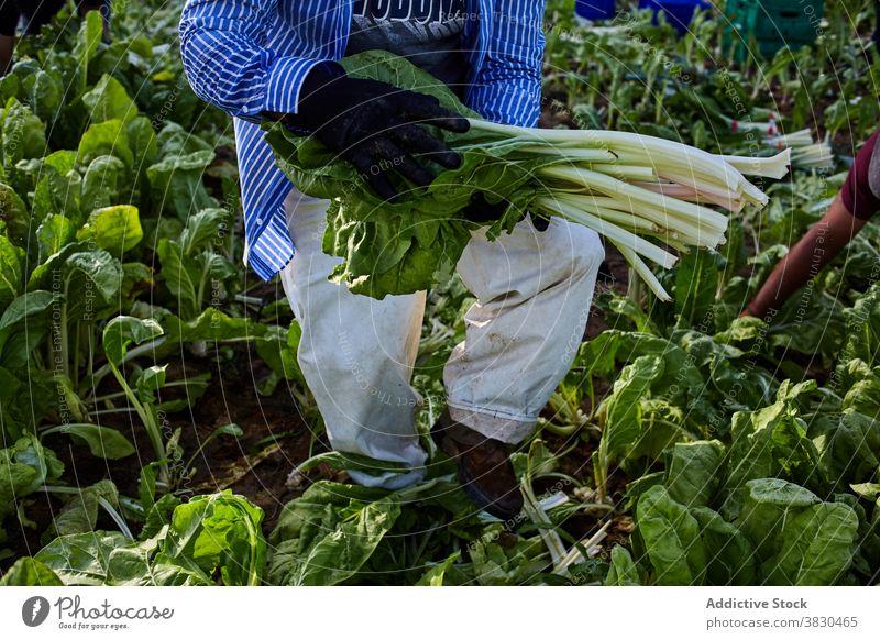 Ernte Mann erntet grünen Salat auf dem Bauernhof abholen pflücken Arbeiter Ackerbau reif Schonung männlich Sommer Landwirt ländlich Landschaft kultivieren