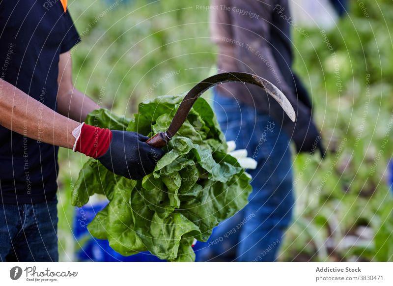 Ernte Mann mit grünen Pflanzen auf landwirtschaftlichen Betrieb abholen Saison Landwirt Salat Bauernhof Ackerbau Haufen männlich frisch Landschaft reif ländlich