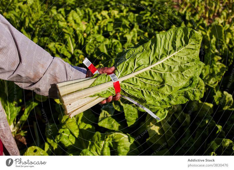 Landwirt mit Strauß Grünzeug auf dem Lande Haufen Salat Bauernhof Mann Schonung Ernte pflücken abholen Landschaft männlich reif Pflanze frisch Sommer