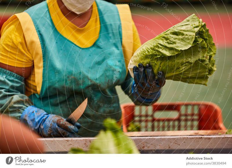 Ernte Frau arbeitet auf landwirtschaftlichen Betrieb geschnitten Salat Bauernhof Arbeit Landwirt Stumpf Landschaft Ackerland Pflanze reif vorbereiten organisch