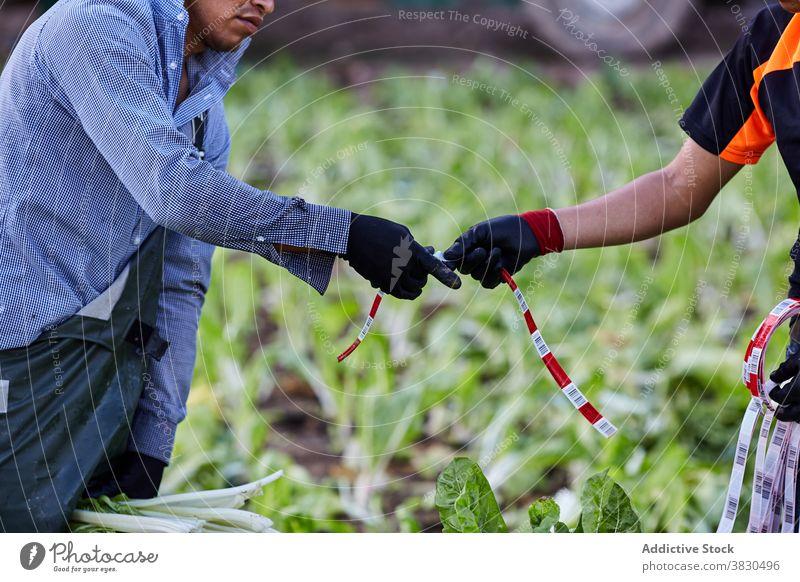 Ethnische männliche Bauern arbeiten auf der Plantage Ernte abholen Haufen Landwirt Männer Salat Arbeit Schonung Landschaft Bändchen ethnisch frisch Natur Saison