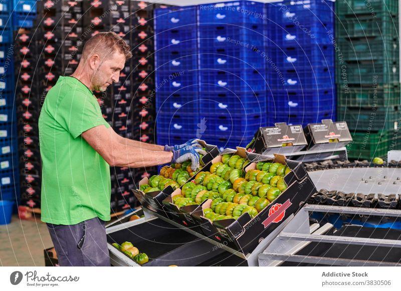 Mann arbeitet im Lebensmittelmarkt Tomate Markt Paket Arbeit Kasten Container Mitarbeiter grün Schachtel männlich Arbeiter Job Karton Beruf Dienst Rudel