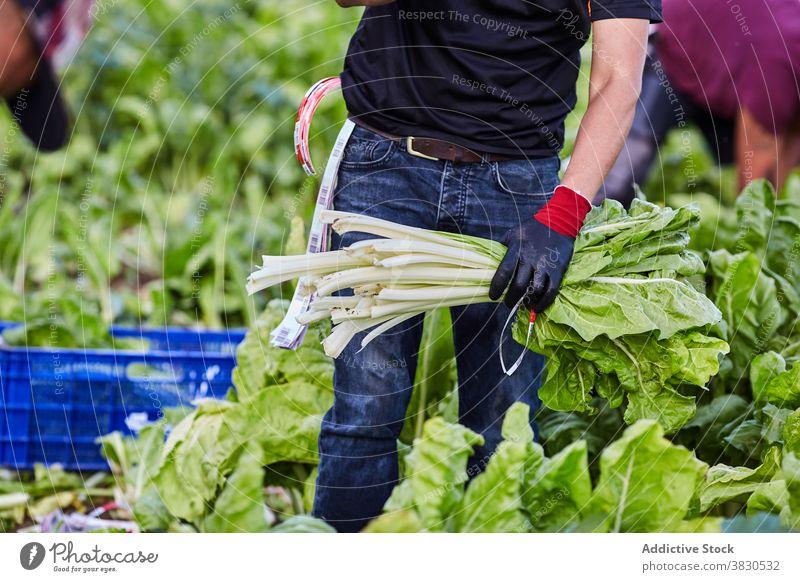 Ernte Mann erntet grünen Salat auf dem Bauernhof abholen pflücken Arbeiter Ackerbau reif Schonung männlich Landwirt Landschaft kultivieren organisch Wachstum