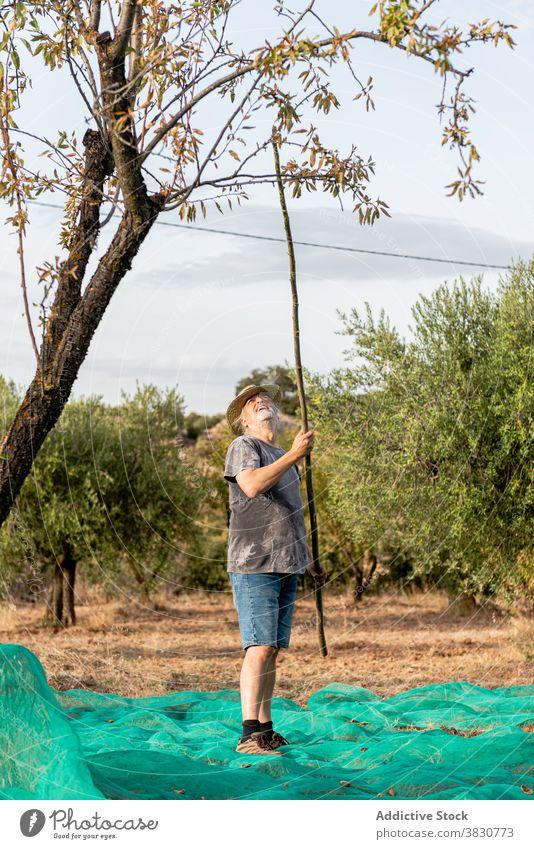 Männlicher Gärtner mit Stock zum Schütteln des Mandelbaums Mann Baum Ernte Obstgarten klopfen schütteln Nut positiv Ackerland abholen kultivieren pflücken