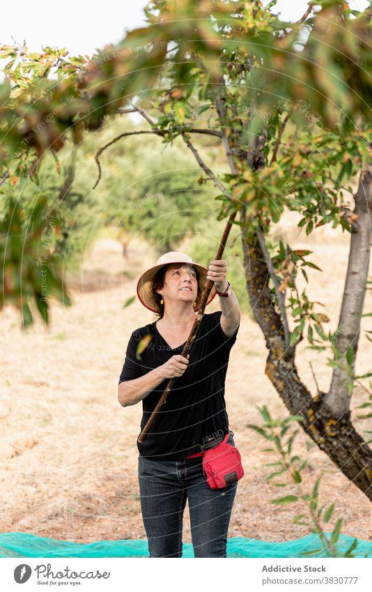 Gärtnerin mit Stock zum Schütteln des Mandelbaums Frau Baum Ernte Obstgarten klopfen schütteln Nut positiv Ackerland abholen kultivieren pflücken Gartenbau