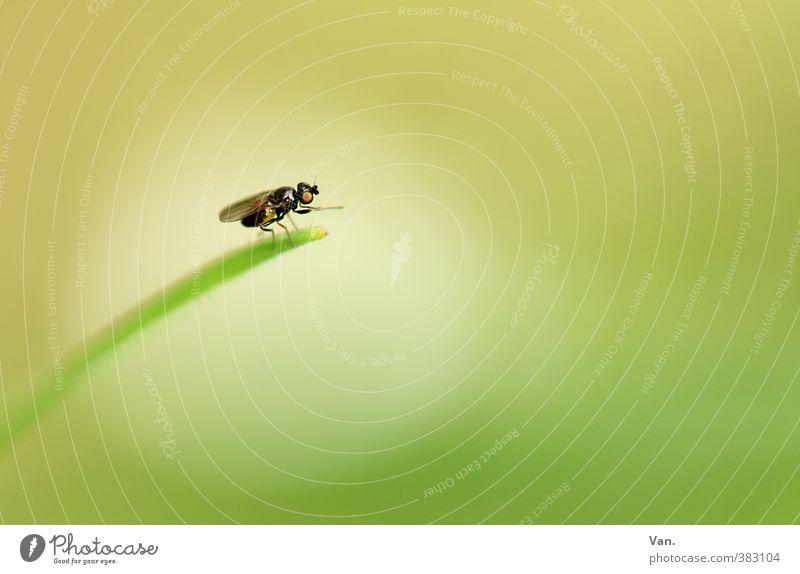 Herr der Fliegen Natur Pflanze Sommer Gras Halm Tier Wildtier Insekt 1 rund gelb grün Lichtpunkt Kreis Farbfoto mehrfarbig Außenaufnahme Nahaufnahme