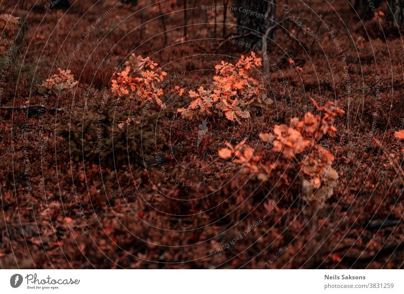 kleine Eichenbäume mit orangefarbenen Blättern im Oktoberwald Laubwerk fallen Eichenblatt Herbstfärbung Menschenleer Baum Pflanze Außenaufnahme Umwelt