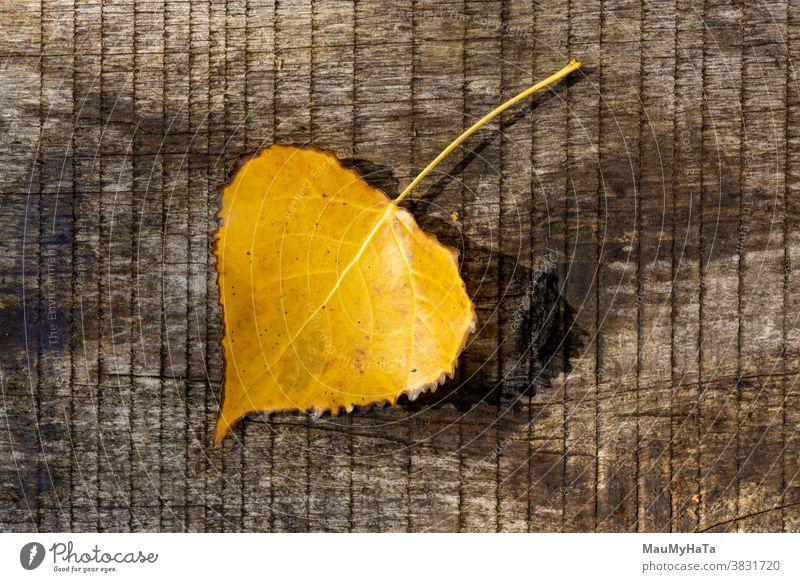 Herbstliches Pappelblatt an einem Baum Saison Natur Sonne Blatt außerhalb Pflanze laubabwerfend