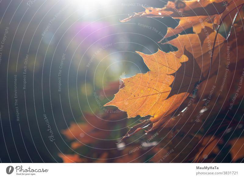 Herbstblätter eines Baumes in einem Kontrapunkt Saison Natur Sonne Blätter außerhalb Pflanze