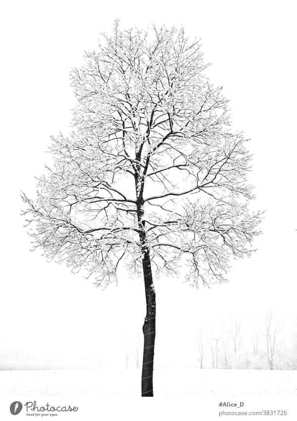 Blattloser Junge Ahorn Baum mit Schnee bedeckt in verschneite Winterlandschaft weiß Wetter Tapeten-Textur Saison malerisch eine Natur einsam kalt Tag Feld leer