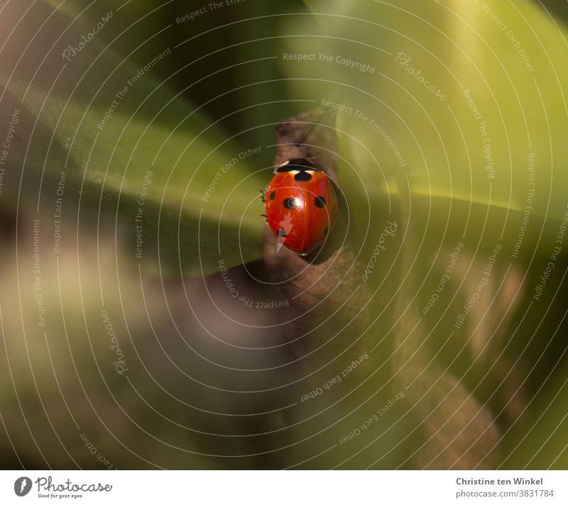 Das Glück suchen und finden...    Marienkäfer versteckt zwischen grünen Blättern Glücksbringer klein rot hübsch Käfer Tier 1 Natur Insekt krabbeln