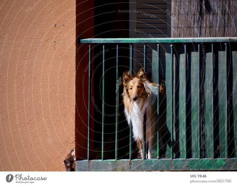Collie guckt traurig in Richtung Freiheit. Haus Balkon Hauswand Geländer Hund Hundeblick Sehnsucht Neugier neugierig Sehnsucht nach Spass Freiheitsdrang