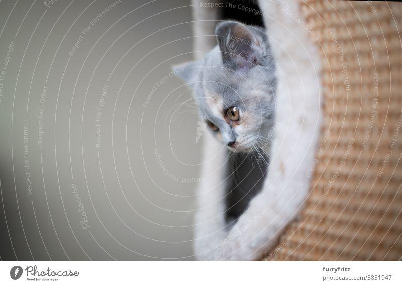 Britisch Kurzhaar Kätzchen im Inneren des Kratzers Katze Haustiere britische Kurzhaarkatze Ein Tier Rassekatze Katzenbaby katzenhaft fluffig Fell Kratzbaum