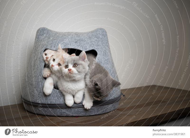 Süße verspielte Britisch-Kurzhaar-Kätzchen in überfüllter Tierhöhle Katze Haustiere britische Kurzhaarkatze Katzengruppe Tiergruppe Rassekatze Katzenbaby