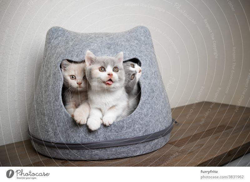 drei lustige verspielte Britisch-Kurzhaar-Kätzchen Katze Haustiere britische Kurzhaarkatze Katzengruppe Tiergruppe Rassekatze Katzenbaby katzenhaft fluffig Fell