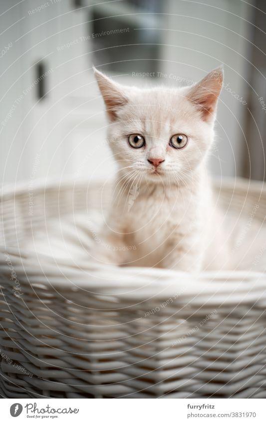 niedlich british shorthait Kätzchen Porträt Katze Haustiere britische Kurzhaarkatze Ein Tier Rassekatze Katzenbaby katzenhaft fluffig Fell bezaubernd schön