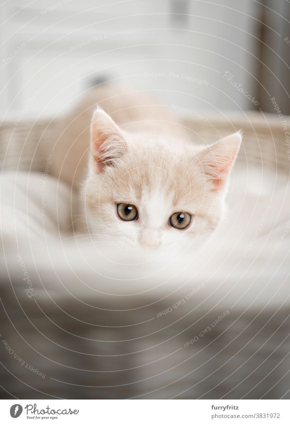 süßes und neugieriges Britisch Kurzhaar Kätzchen Katze Haustiere britische Kurzhaarkatze Ein Tier Rassekatze Katzenbaby katzenhaft fluffig Fell niedlich