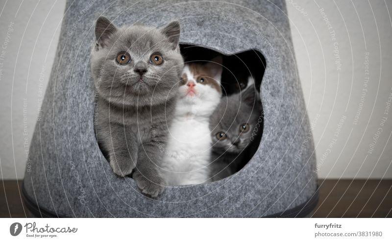 neugierige Gruppe von Kätzchen zusammen in Haustierhöhle Katze Haustiere britische Kurzhaarkatze Tiergruppe Katzengruppe Rassekatze Katzenbaby katzenhaft
