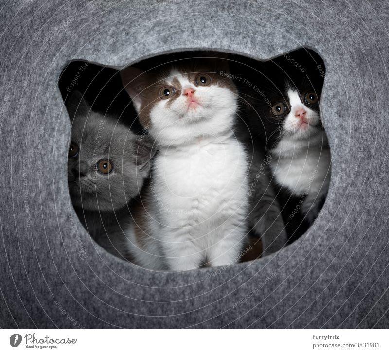 drei neugierige Kätzchen nebeneinander im Inneren der Katzenhöhle Haustiere britische Kurzhaarkatze Tiergruppe Katzengruppe Rassekatze Katzenbaby katzenhaft