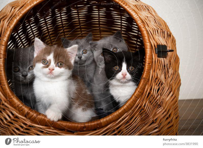 Gruppe von niedlichen Britisch-Kurzhaar-Kätzchen in einem Korb Katze Haustiere britische Kurzhaarkatze Tiergruppe Katzengruppe Rassekatze Katzenbaby katzenhaft