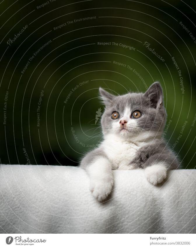 süßes Kätzchen beugt sich über Sofakante und schaut neugierig Katze Haustiere britische Kurzhaarkatze Ein Tier Rassekatze Katzenbaby katzenhaft fluffig Fell