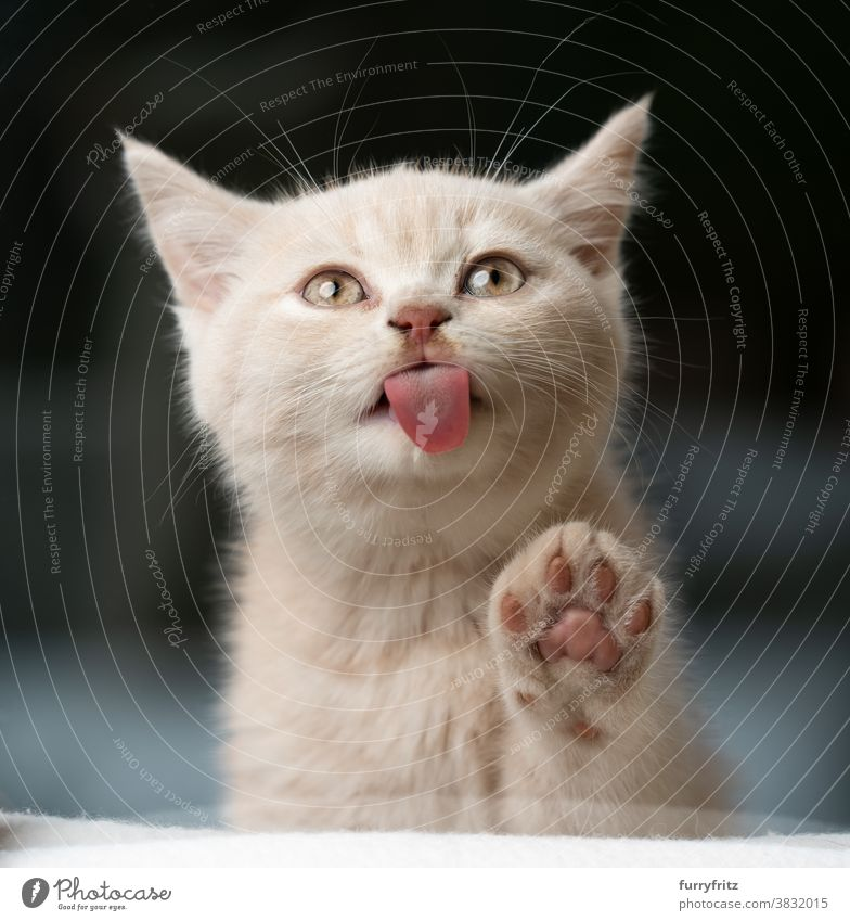 süßes Kätzchen leckt Fensterscheibe Katze Haustiere britische Kurzhaarkatze Ein Tier Rassekatze Katzenbaby katzenhaft fluffig Fell niedlich bezaubernd schön