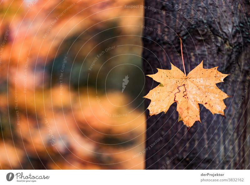 Ein einzelnes Blatt im Herbst in Berlin Starke Tiefenschärfe Sonnenstrahlen Sonnenlicht Kontrast Schatten Tag Licht Textfreiraum unten Textfreiraum links