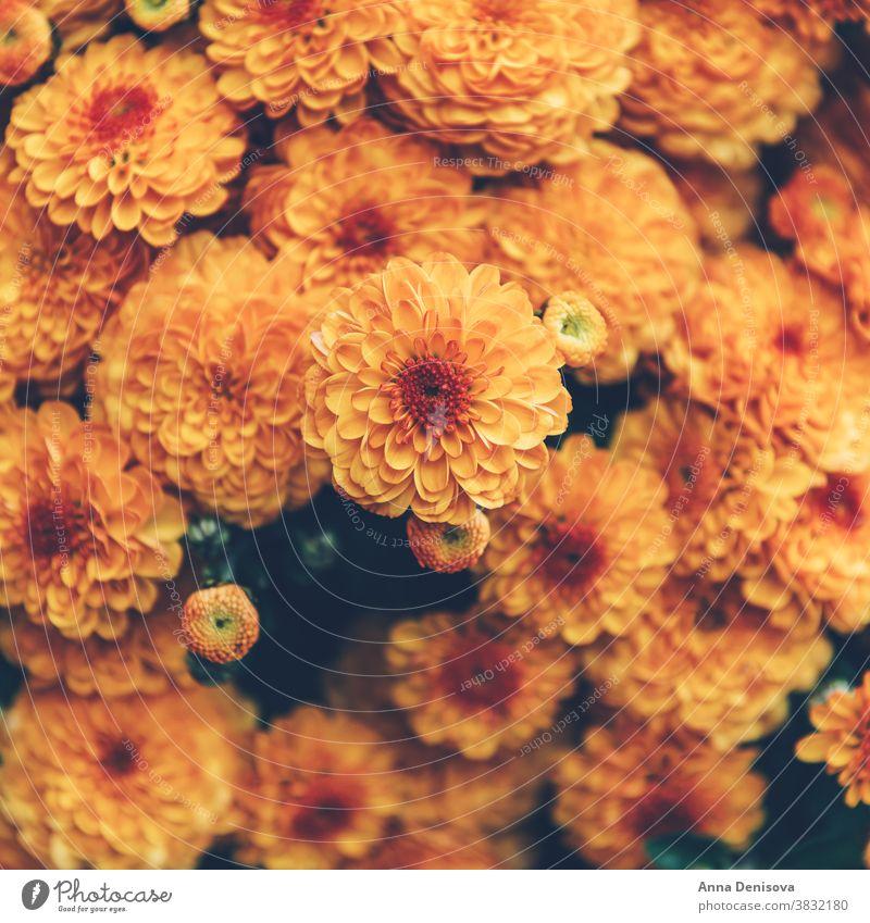 Orangefarbene Chrysanthemenblüten Garten Oktober fallen orange Herbst Blume geblümt Blumenstrauß Natur farbenfroh Hintergrund gelb Überstrahlung Textur Tapete