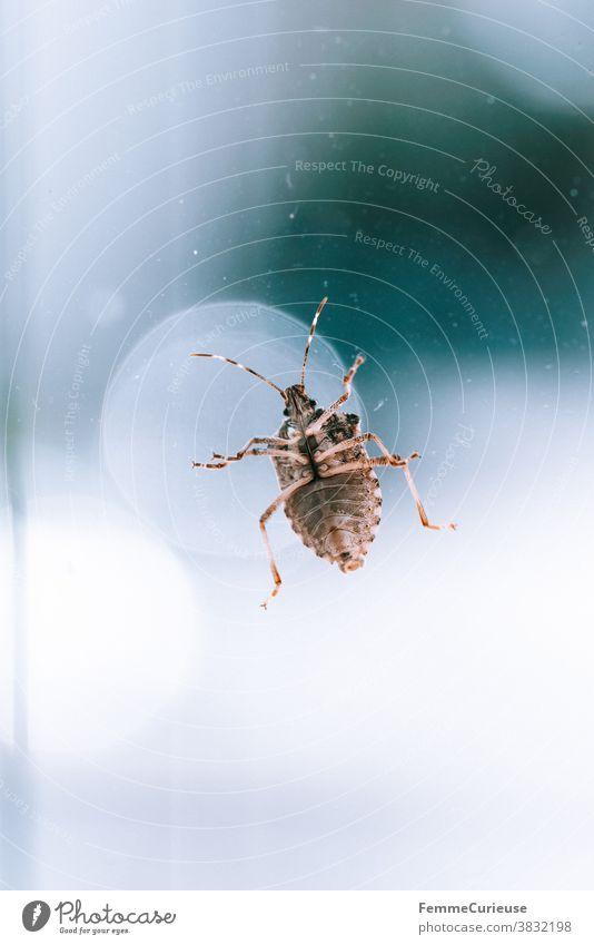 Makroaufnahme Stinkwanze an Fensterscheibe mit Blick auf ihre Unterseite (Bauch) Wanze stinkwanze Beine makrofotografie Glasscheibe Tier Tierfotografie Natur