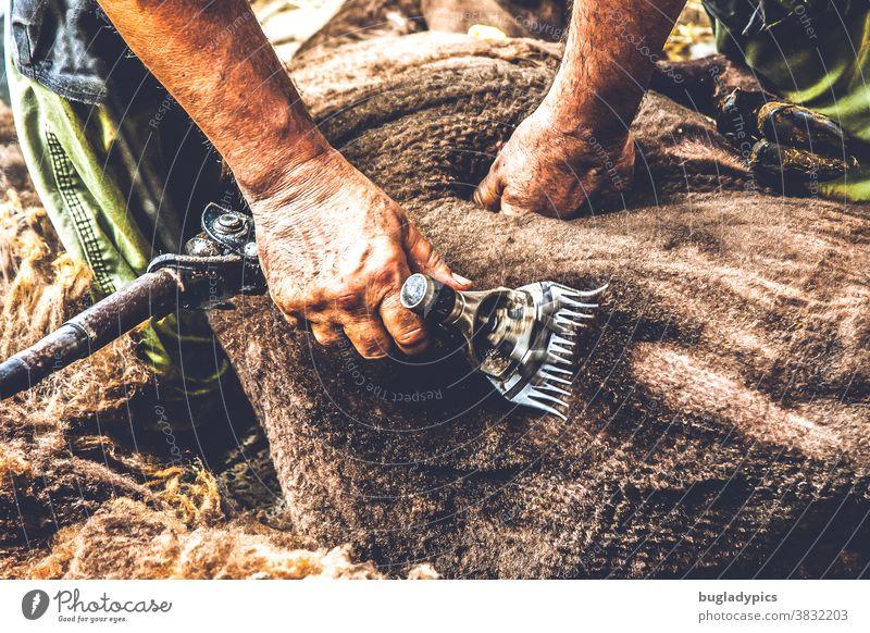 Ein Schaf mit brauner Wolle wird mit einer elektrischen Schermaschine geschoren Schafe Schafswolle Schafe scheren Schurwolle schurrhaare Naturstoff Frisieren