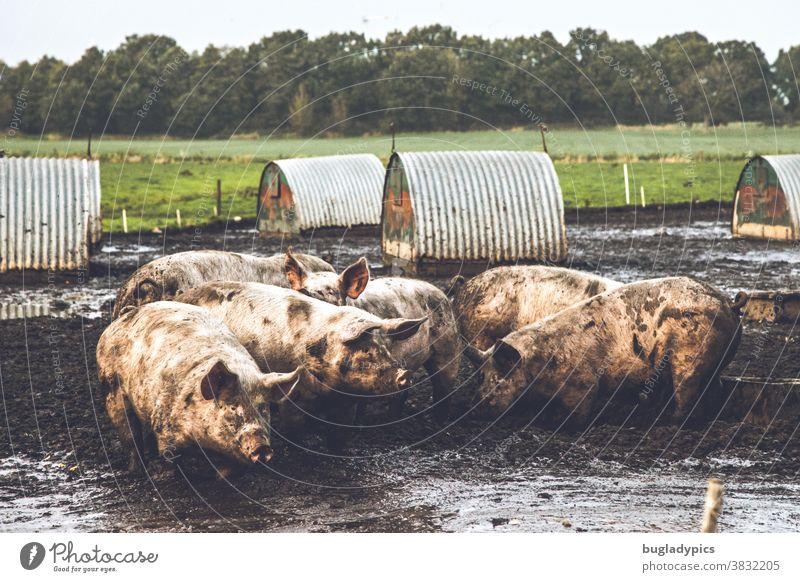 Eine Gruppe von Schweinen im Matsch in der Freilandhaltung. Im Hintergrund kleine Unterstände für die Tiere, eine Wiese und ein Wäldchen. Sau Säue dreckig