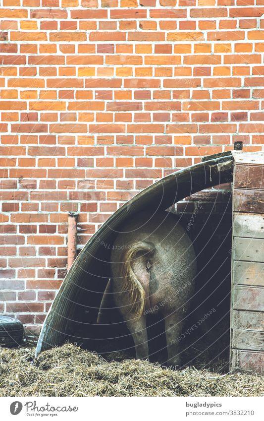 Schwein / Sau in einem Unterstand vor einer Backsteinwand /Backsteinmauer /Ziegelwand /Ziegelmauer Bache Stall Stallung Nutztier Bauernhof Landwirtschaft