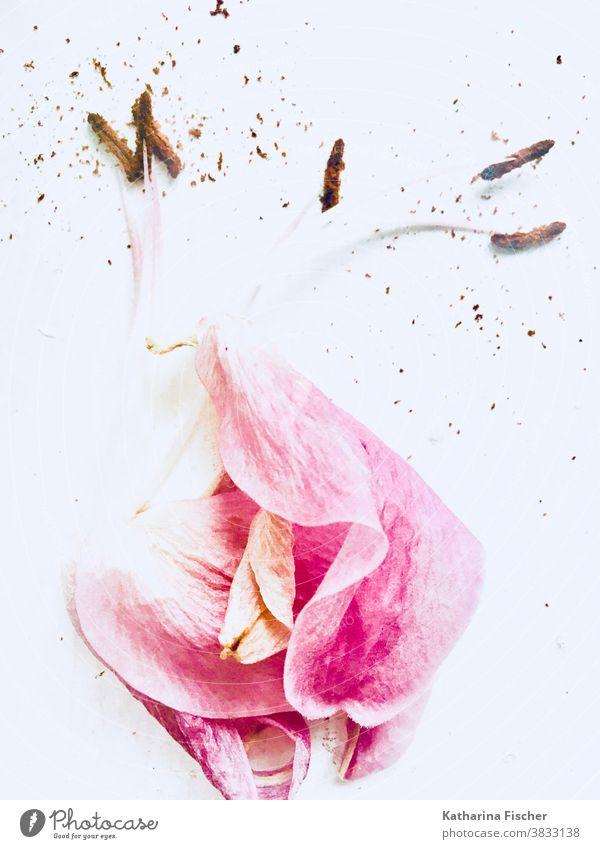 Tulpe Blumen Natur Pflanze Blüte Frühling Farbfoto schön Nahaufnahme natürlich Blütenblatt Makroaufnahme frisch Detailaufnahme rosa weiß Blütenknospen knopsen