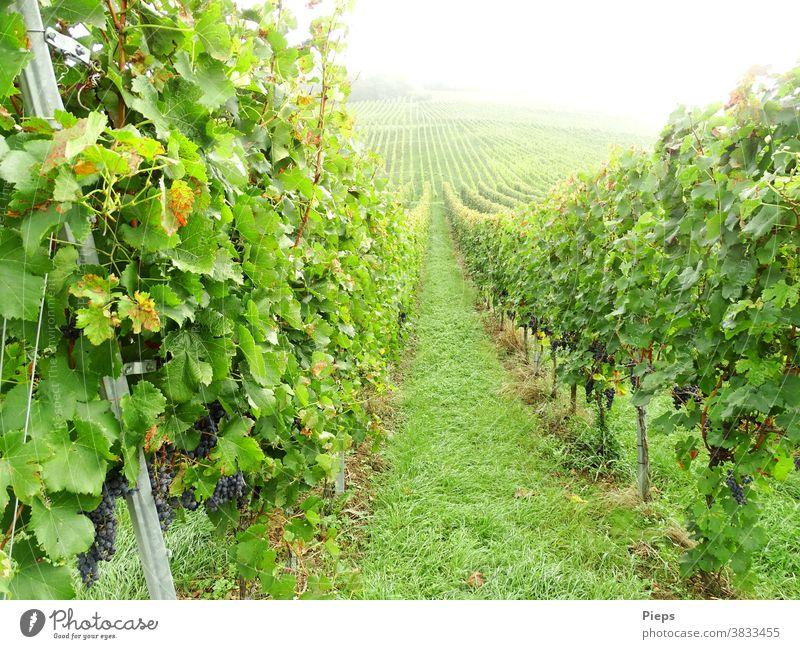 Kurz vor der Ernte Weintrauben Weinlese Weinblatt Rebstock Reihen Pfad aufwärts Nebelstimmung Trauben Markgräfler Land grün Weinbau Außenaufnahme Pflanze