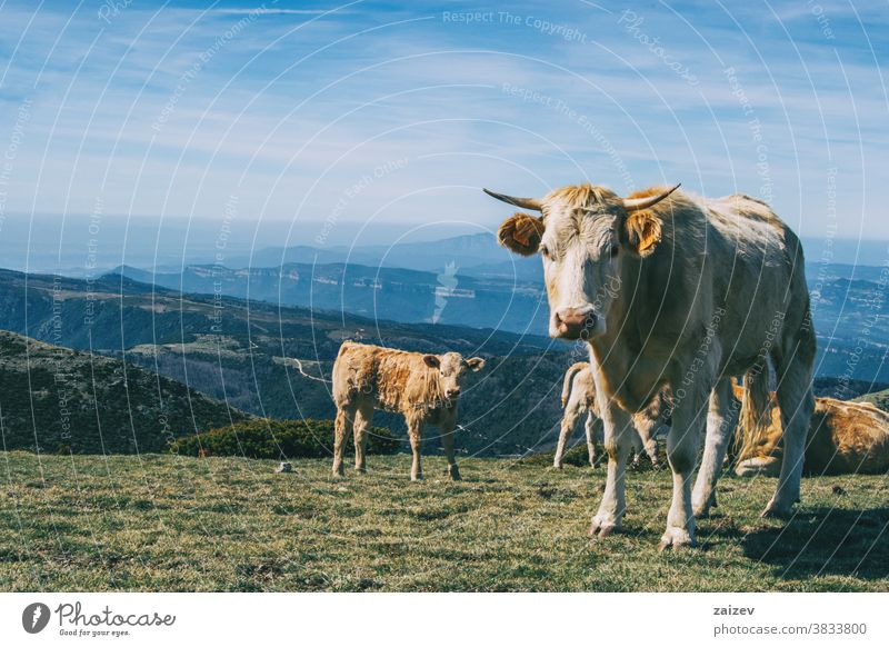 Porträt einer weissen Kuh und eines Kalbes, die in der Höhe in die Kamera schauen Landschaft Kühe Menschengruppe Herde weiß braun grün Wiese Sträucher Höhen