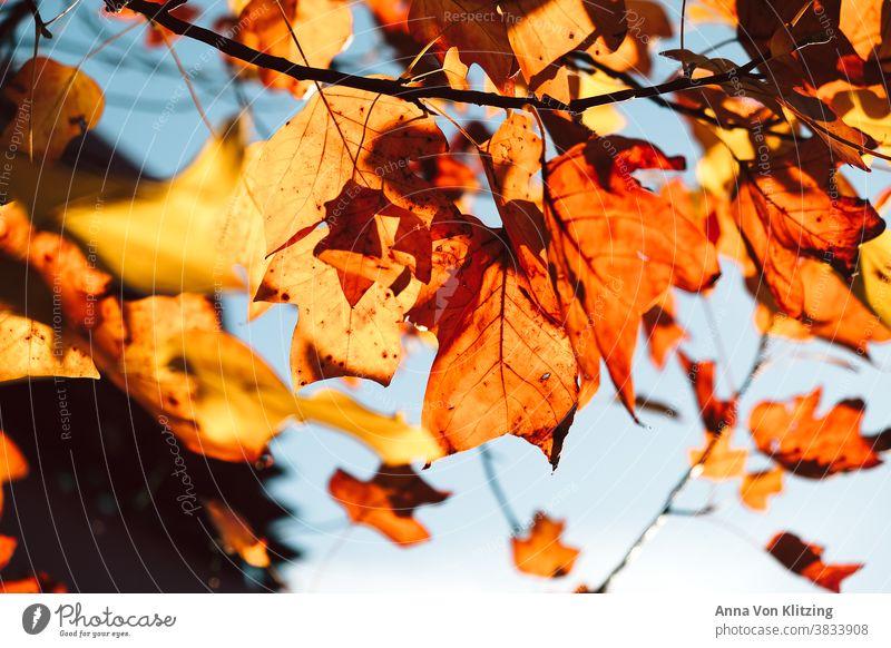 Herbstsonne Blätter gelbe blätter herbstlich Herbstlaub Sonnenlicht Blauer Himmel leuchtende Farben orange Laubbaum Herbstfärbung Baum Natur Außenaufnahme