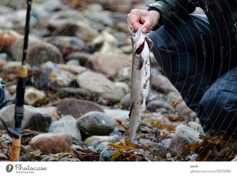 Nach der Jagd Angeln Fisch Forelle Meer Meerforelle Tier Wasser fangen Fischer fischen frisch Lebensmittel Angler See Freizeit & Hobby Angelschnur Angelrute