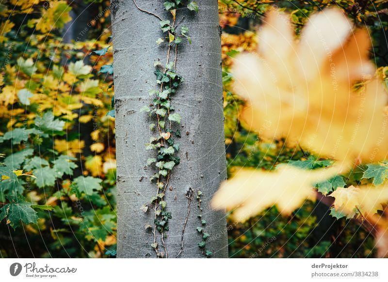 Buche mit Efeu im Herbst Landschaft Ausflug Natur Wanderung Umwelt wandern Pflanze Baum Wald Akzeptanz Vertrauen Glaube Naturerlebnis herbstlich Herbstfärbung
