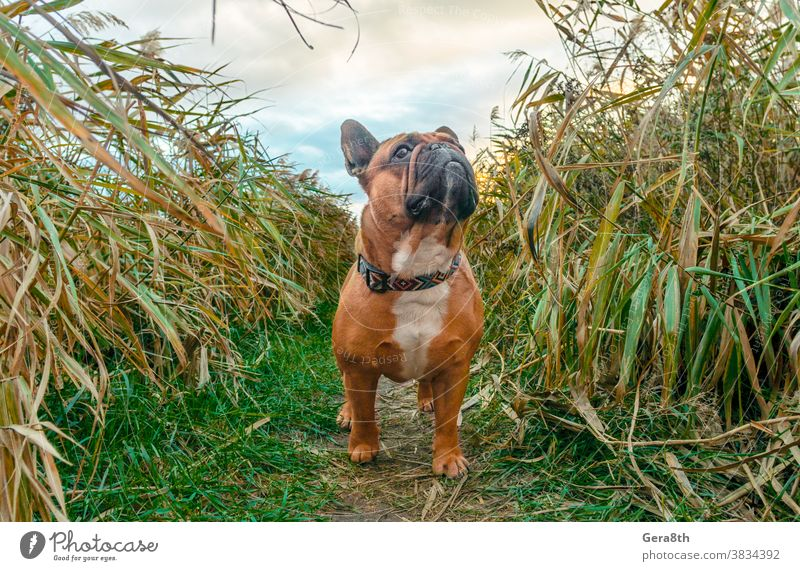 Französische Bulldogge, die auf einem Pfad im Gras läuft Tier Herbst züchten braun Eckzahn Wolken Kragen Farbe niedlich Tag Hund Hündchen heimisch Umwelt Wald