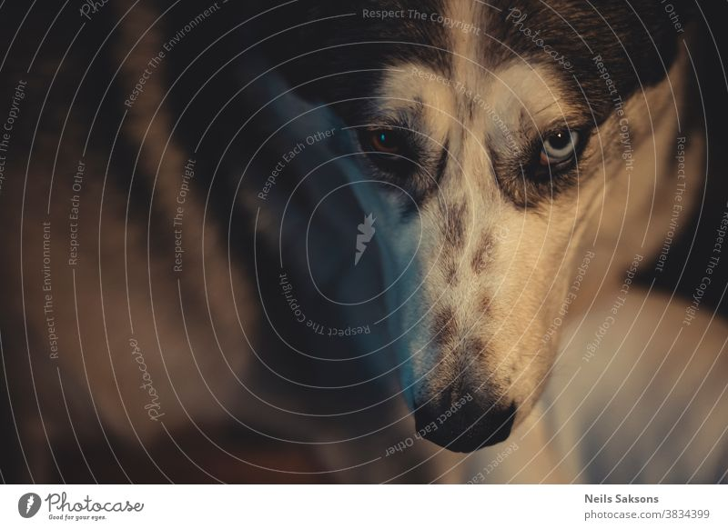 Nahaufnahme des Kopfes eines Siberian Husky-Hundes mit blauen und braunen Augen glücklicher Hund Hundekopf Hintergrund bezaubernd Erwachsener Alaska allein Tier