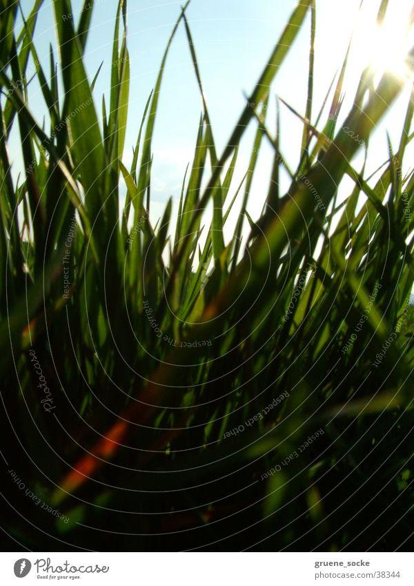 Wiese hautnah Sonne Wiese Gras Rasen Halm