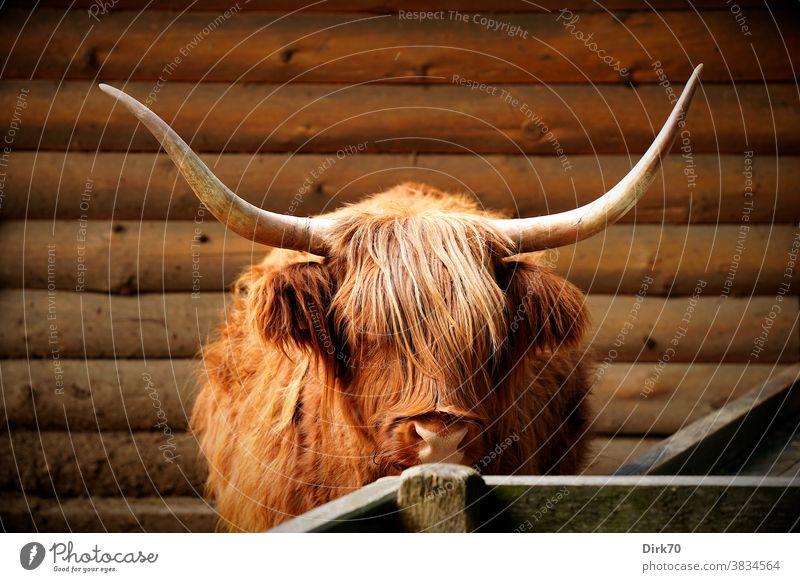 Hochlandrind Rind Blockhaus Weide Schottisches Hochlandrind Tier Nutztier Kuh Außenaufnahme Horn braun 1 Fell Tierporträt Menschenleer Schottland